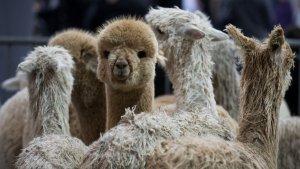 Monzo Co-Founder Quits To Run Alpaca Farm