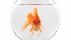Tapping Into Goldfish Attention Spans